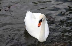 Красивый белый лебедь на воде. Стоковое Изображение RF