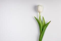 Красивый белый изолированный тюльпан весны пасхи стоковая фотография
