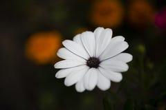 Красивый белый и фиолетовый цветок в саде стоковое изображение