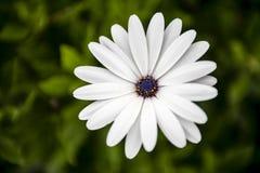 Красивый белый и фиолетовый цветок в саде Стоковое Изображение RF