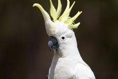 Красивый белый какаду, Австралия Стоковые Изображения