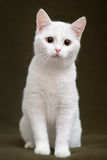 Красивый белый кот с желтыми глазами стоковая фотография rf