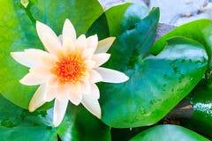 Красивый белый лотос, белый цветок Цветок лотоса Будды Стоковые Изображения RF