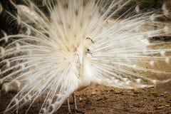 Красивый белый павлин с пер вне Белые мужские wi павлина Стоковое Изображение RF