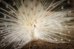 Красивый белый павлин с пер вне Белые мужские wi павлина Стоковая Фотография