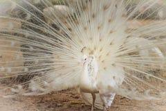 Красивый белый павлин с пер вне Белые мужские wi павлина Стоковые Фото