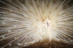 Красивый белый павлин с пер вне Белые мужские wi павлина Стоковые Изображения