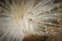 Красивый белый павлин с пер вне Белые мужские wi павлина Стоковое фото RF