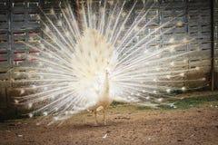 Красивый белый павлин с пер вне Белые мужские wi павлина Стоковое Фото