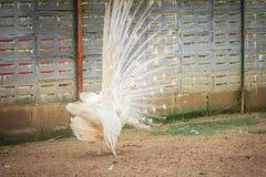 Красивый белый павлин с пер вне Белые мужские wi павлина Стоковые Изображения RF
