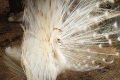 Красивый белый павлин с пер вне Белые мужские wi павлина Стоковое Изображение
