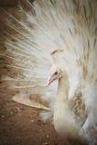 Красивый белый павлин с пер вне Белые мужские wi павлина Стоковые Фотографии RF