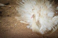 Красивый белый павлин с пер вне Белые мужские wi павлина Стоковая Фотография RF