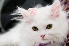 Красивый белый персидский кот Стоковые Изображения