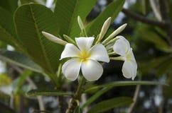 Красивый белый цветок в Таиланде Стоковая Фотография RF