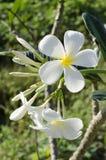 Красивый белый цветок в Таиланде Стоковые Изображения RF