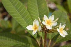 Красивый белый цветок в Таиланде Стоковое фото RF