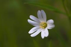 Красивый белый цветок Стоковое Изображение