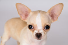 Красивый белый чихуахуа щенка смотрит на вас стоковое фото