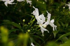 Красивый белый Gardenia Стоковая Фотография