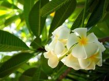 Красивый белый Plumeria стоковое фото rf