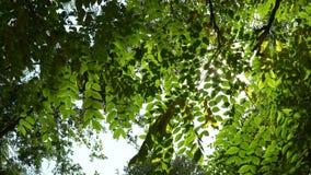Красивый блеск Солнця через дуть на зеленом цвете дерева ветра выходит сток-видео