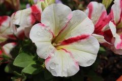 Красивый болгарский цветок снял в Blagoevgrad, увлажненном после дождя стоковая фотография rf