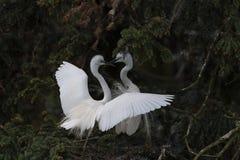 Красивый больший egret стоковые фото