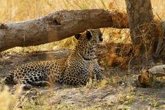 Красивый большой леопард Тома Стоковые Изображения RF