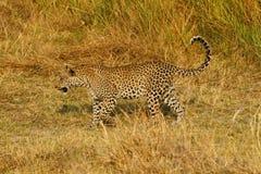 Красивый большой леопард Тома Стоковые Изображения