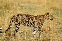 Красивый большой конец леопарда вверх Стоковое фото RF
