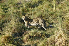 Красивый большой конец леопарда вверх стоковое фото