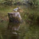 Красивый большой майор Parus птицы синицы на пне дерева в lan леса стоковые изображения rf