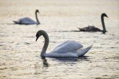 Красивый большой набор солнечного света рассвета безгласных лебедей весной на озере Стоковое фото RF