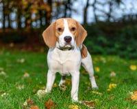 Красивый, Брайн и белый щенок собаки бигля Стоковое фото RF