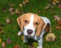 Красивый, Брайн и белый щенок собаки бигля Стоковые Изображения RF