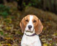 Красивый, Брайн и белый щенок собаки бигля Стоковое Изображение