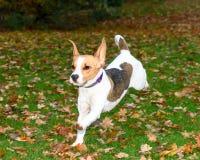 Красивый, Брайн и белый щенок собаки бигля Стоковая Фотография RF