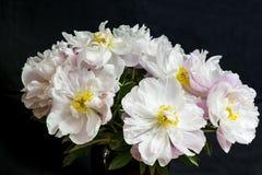 Красивый букет белого пиона увядать цветет на черном backdor стоковые изображения rf