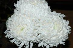 Красивый букет белых хризантем на темной предпосылке Стоковые Фотографии RF