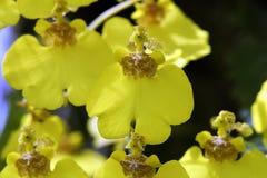 Красивый букет желтых орхидей рода Oncidium Стоковые Изображения RF