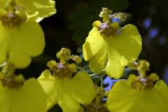 Красивый букет желтых орхидей рода Oncidium Стоковое Изображение