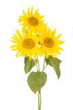 Красивый букет желтых солнцецветов Стоковые Фотографии RF