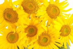 Красивый букет желтых солнцецветов Стоковые Изображения