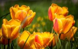 Красивый букет красочных естественных тюльпанов в среду обитания Стоковая Фотография RF