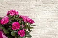 Красивый букет розовых роз, чувствительный шарлах цветет на белом кирпиче/заштукатуренной предпосылке стены стоковое изображение rf