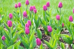 Красивый букет фиолетовых тюльпанов, фиолетовых тюльпанов Стоковые Фотографии RF