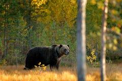 Красивый бурый медведь идя вокруг озера с цветами падения Принесите спрятанный в желтых деревьях осени леса с медведем Опасное жи стоковое изображение rf