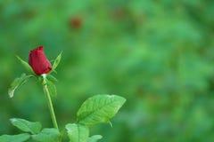 Красивый бутон красной розы Стоковое Изображение RF