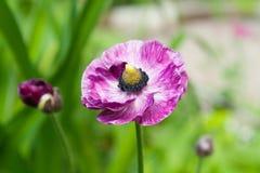 Красивый бутон цветка лютика в лете в саде южном Ural России стоковое изображение